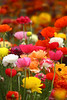 carlsbad flower fields - 4.11 : carlsbad flower fields