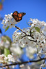 balboa park - 1.28.10 : butterfly migration and blooming pear trees in balboa park